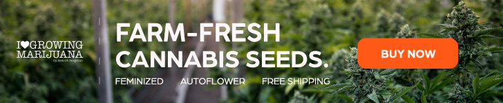 fresh cannabis seeds