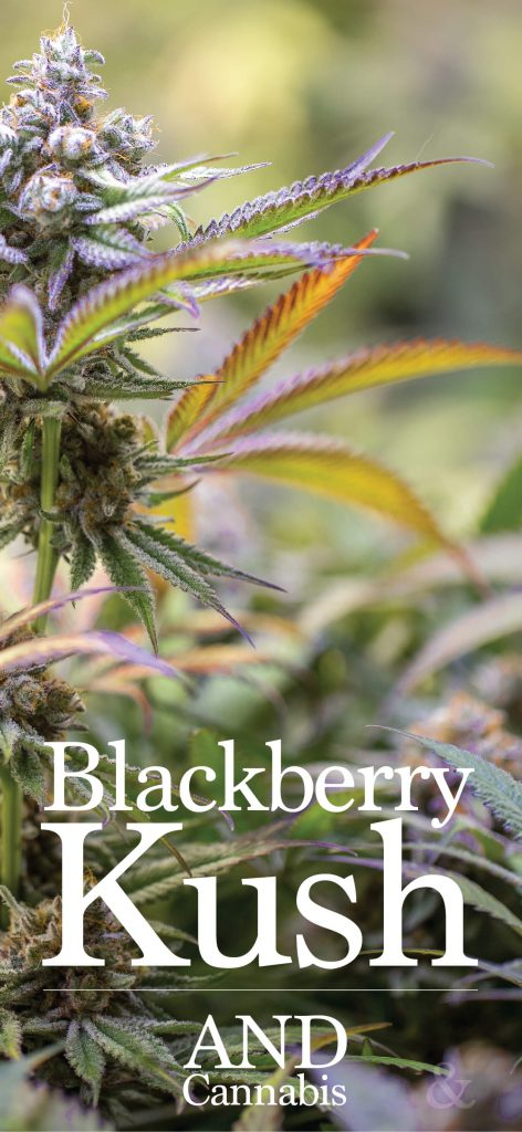 Blackberry Kush Strain Details & THC Content - AND Cannabis