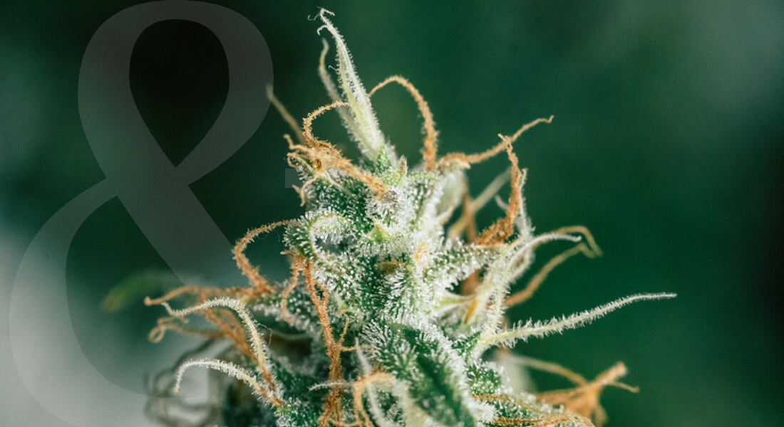 haze strain cannabis plant