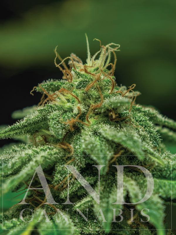 how to grow mango haze cannabis