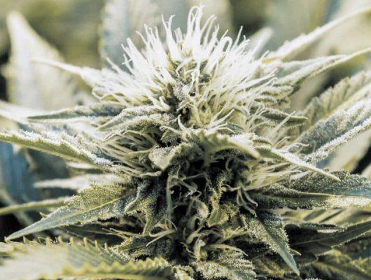 khalifa kush cannabis strain