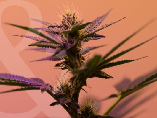 strains like harlequin high cbd