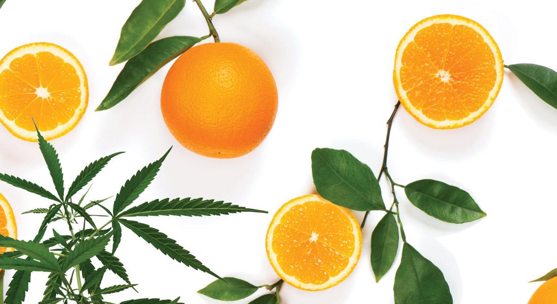 tangerine dream cannabis strain plants