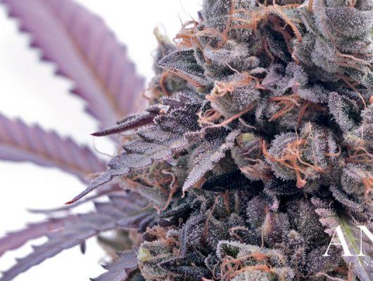 gelato strain cannabis flower